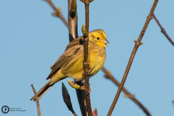 Emberiza citrinella / Yellowhammer / Goldammer ♂