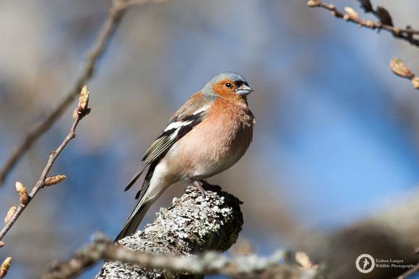 Fringilla coelebs / Common Chaffinch / Buchfink ♂