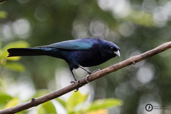 Molothrus bonariensis / Shiny Cowbird / Seidenkuhstärling ♂