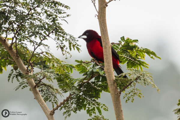 Ramphocelus dimidiatus / Crimson-backed Tanager / Scharlachbauchtangare ♂