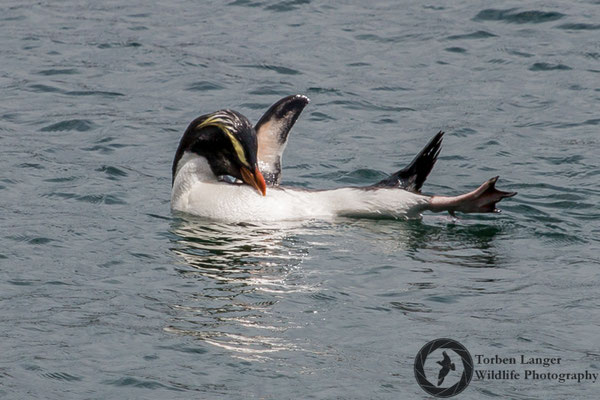 Eudyptes pachyrhynchus / Fiordland Penguin / Dickschnabelpinguin