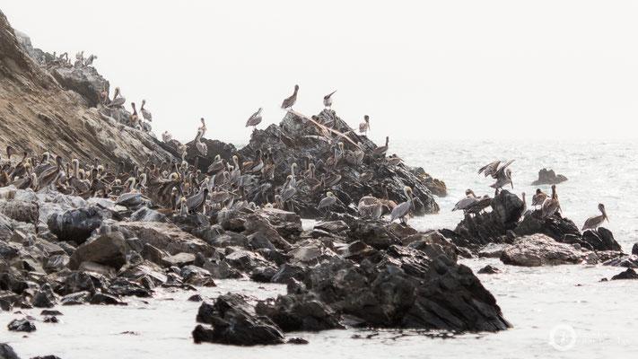 Pelicans on Isla Foca