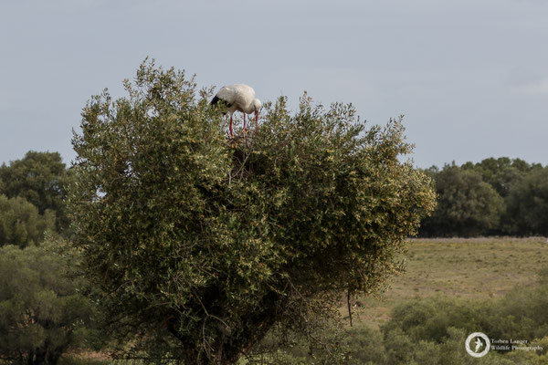 White Stork on a nest in an olive tree