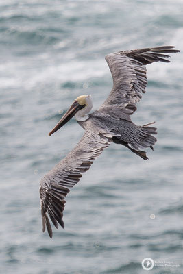 Pelecanus occidentalis / Brown Pelican / Braunpelikan