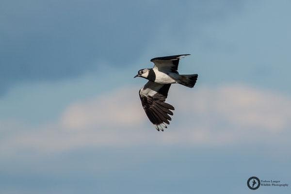 Vanellus vanellus / Northern Lapwing / Kiebitz