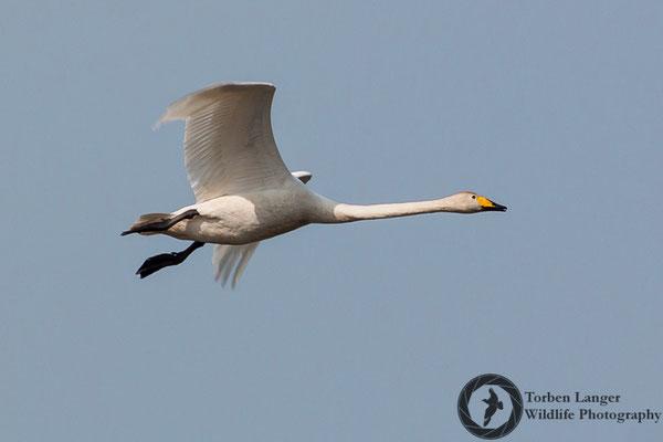 Cygnus cygnus / Whooper Swan / Singschwan