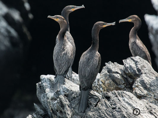 Nannopterum brasilianus / Neotropical Cormorant / Olivenscharbe