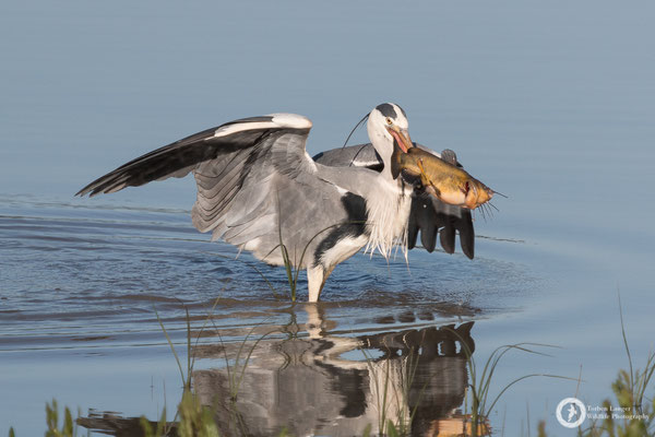 A Grey Heron having fish for breakfast
