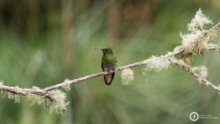 Boissonneaua flavescens - Buff-tailed Coronet - Fahlschwanzkolibri