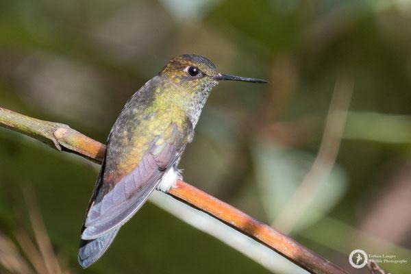 Haplophaedia assimilis - Buff-thighed Puffleg - Fahlschenkel-Höschenkolibri