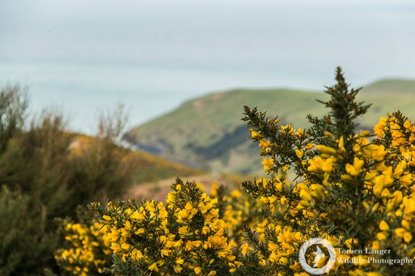 Gorse (Ulex europaeus), an invasive plant close to Hinewai Reserve on Banks Peninsula