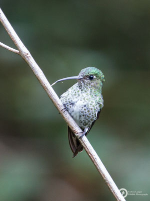 Many-spotted Hummingbirds