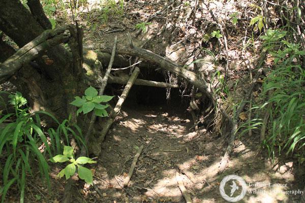 A porcupine's den