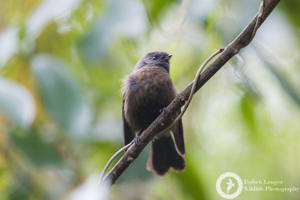 A New Zealand Fantail in Riccarton Bush/Christchurch