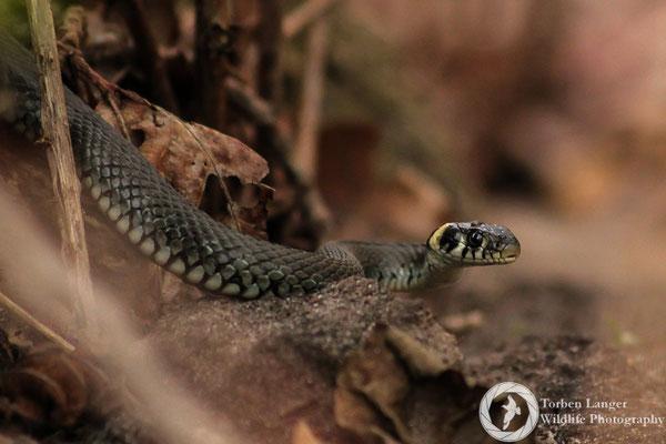 Natrix natrix / Grass Snake / Ringelnatter