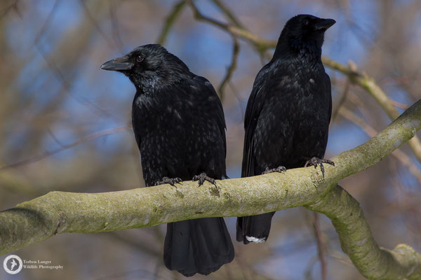 Corvus corone / Carrion Crow / Rabenkrähe