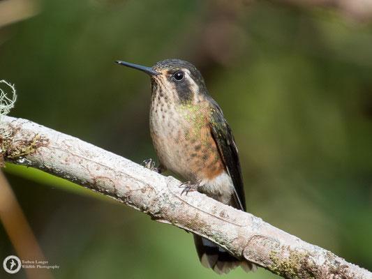 Adelomyia melanogenys - Speckled Hummingbird - Schwarzohrkolibri