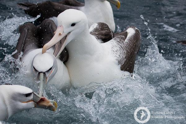 Diomedea epomorpha / Southern Royal Albatross / Südlicher Königsalbatros & Thalassarche steadi / White-capped Albatross / Aucklandalbatros