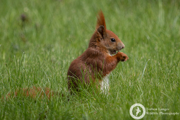 Sciurus vulgaris / Red Squirrel / Eichhörnchen