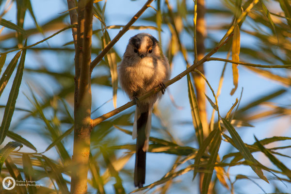 Aegithalos caudatus / Long-tailed Tit / Schwanzmeise