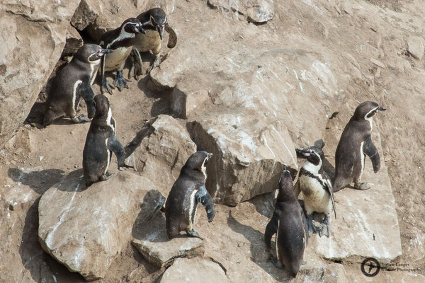 Spheniscus humboldti / Humboldt Penguin / Humboldtpinguin