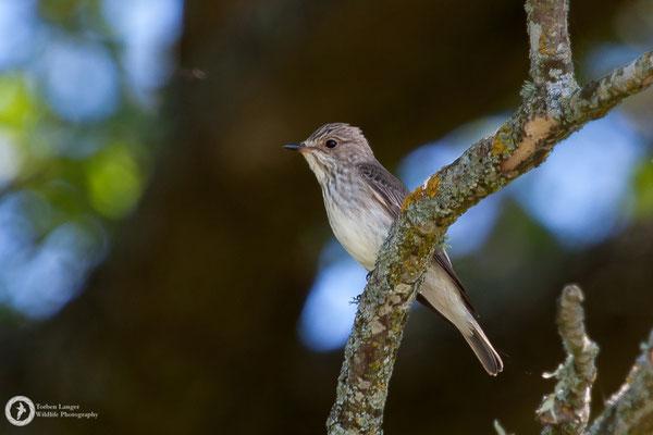 Muscicapa striata / Spotted Flycatcher / Grauschnäpper