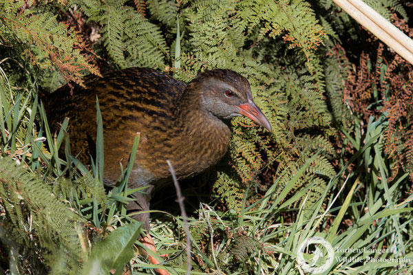 A Weka at Goldsborough Camping Area