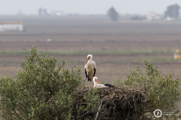 More White Storks on their nest