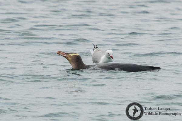 Megadyptes antipodes / Yellow-eyed Penguin / Gelbaugenpinguin / Hoiho