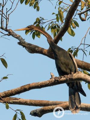 Anhinga anhinga / Anhinga / Amerikanischer Schlangenhalsvogel
