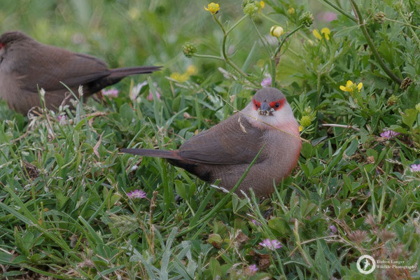 I think this is a common Waxbill... or maybe a Black-rumped Waxbill? I don't know, but certainly not native to Spain