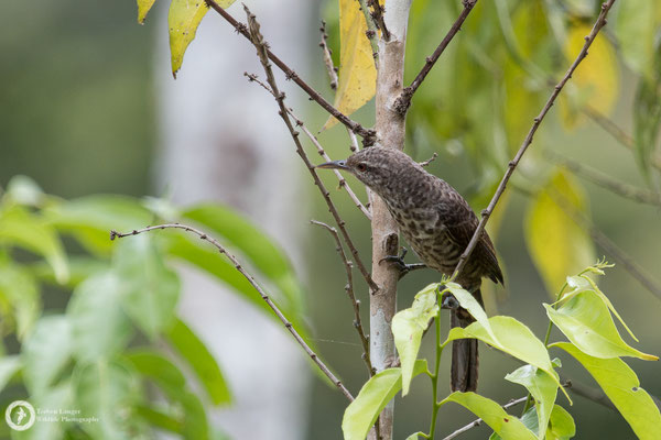 Campylorhynchus turdinus / Thrush-like Wren / Drosselzaunkönig