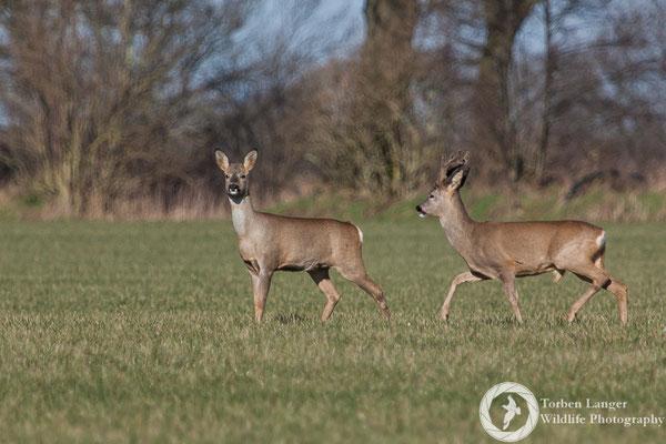 Capreolus capreolus / Roe Deer / Reh