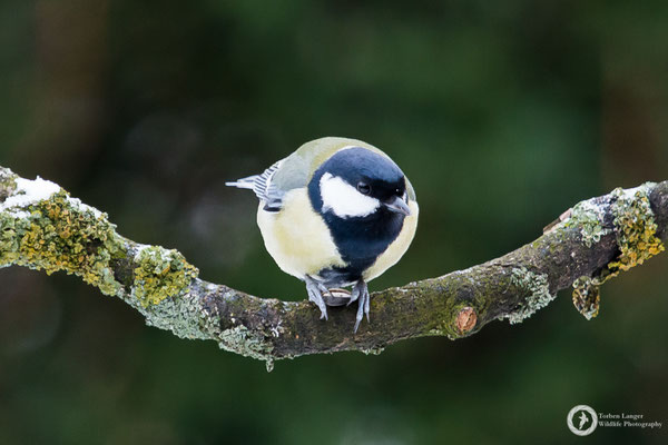 Parus major / Great Tit / Kohlmeise