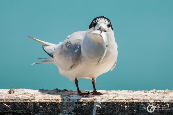 Sterna striata / White-fronted Tern / Weißstirn-Seeschwalbe