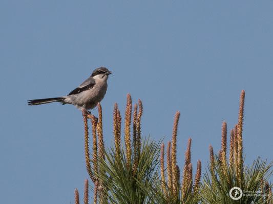 Iberian Grey Shrike - endemic to Iberia and SW France