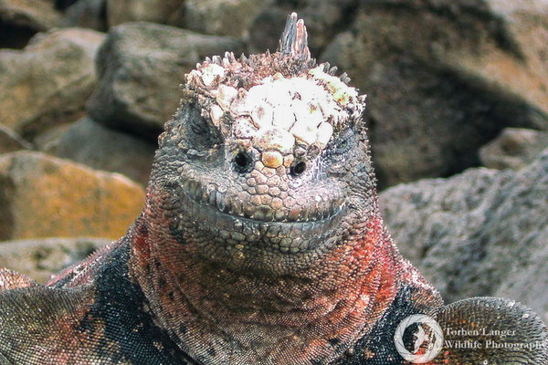 Amblyrhynchus cristatus / Marine Iguana / Meerechse