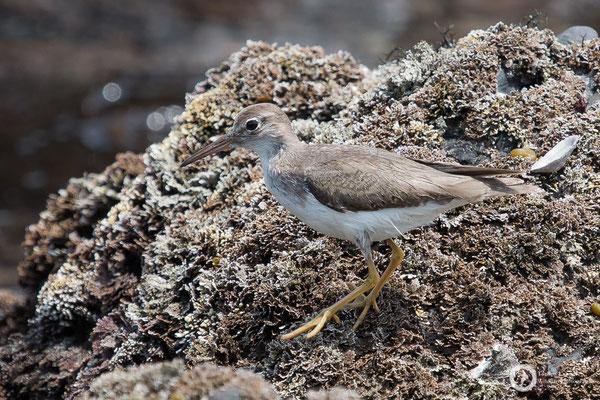 Actitis macularius / Spotted Sandpiper / Drosseluferläufer