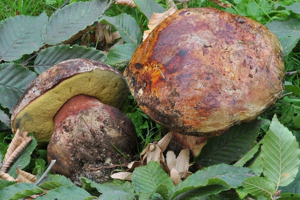 Boletus torosus Fries (COMMESTIBILE) Foto Emilio Pini