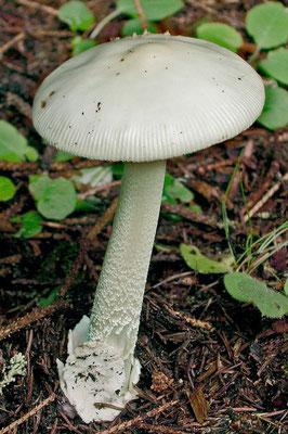 Amanita vaginata f. alba (Sacc.) Romagnesi (COMMESTIBILE)                              Foto Emilio Pini