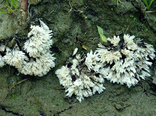 Thelephora penicillata (Pers.) Fr. 1821 (NON COMMESTIBILE) foto Emilio Pini