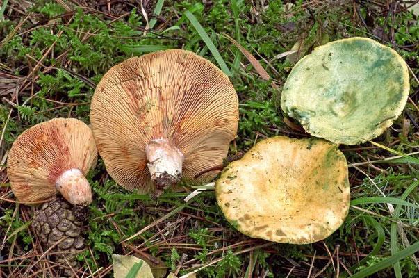 Lactarius semisanguifluus R. Heim & Leclair (COMMESTIBILE) Foto Emilio Pini