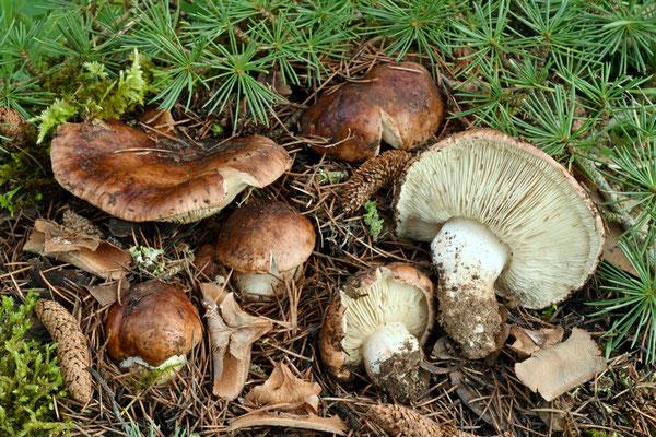 Tricholoma cedretorum (Bon) A. Riva (NON COMMESTIBILE) Foto Emilio Pini