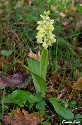 Orchis pallens