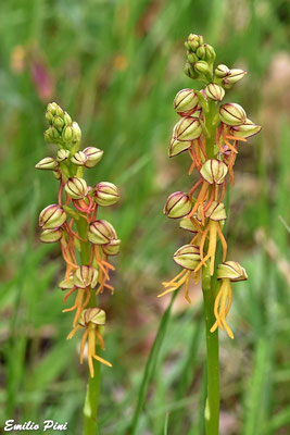 Orchis antropophora