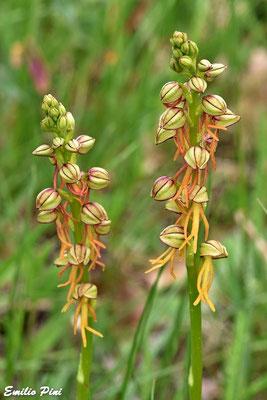 Orchis antropophora (Regione Piemonte)
