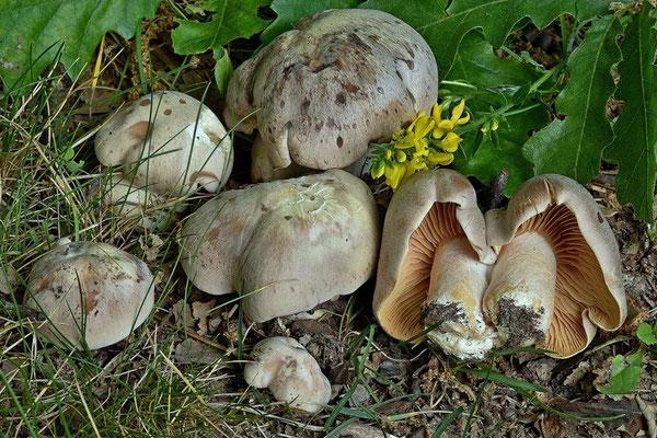Entoloma sinuatum (Bull.) P. Kumm. (VELENOSO) Foto Emilio Pini