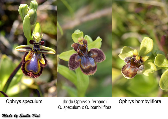Ophrys speculum x Ophrys bombyliflora