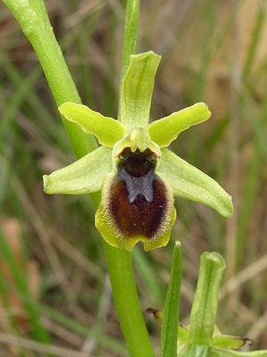 Ophrys sphegodes subsp litigiosa (Regione Liguria)