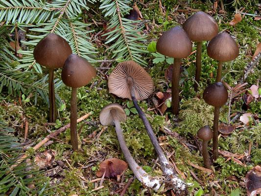 Entoloma hirtipes (Schumach.) M.M. Moser (NON COMMESTIBILE)  Foto Emilio Pini